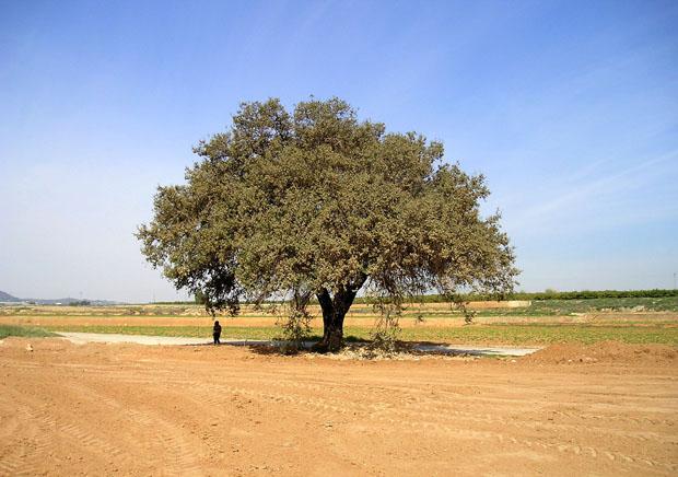 01.picassent.arbressingulars