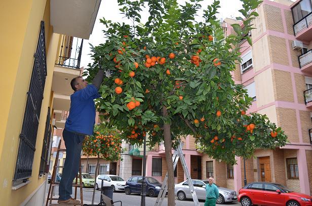 naranjas amargas moncada