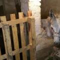 burro decomisado en Burjassot (1)