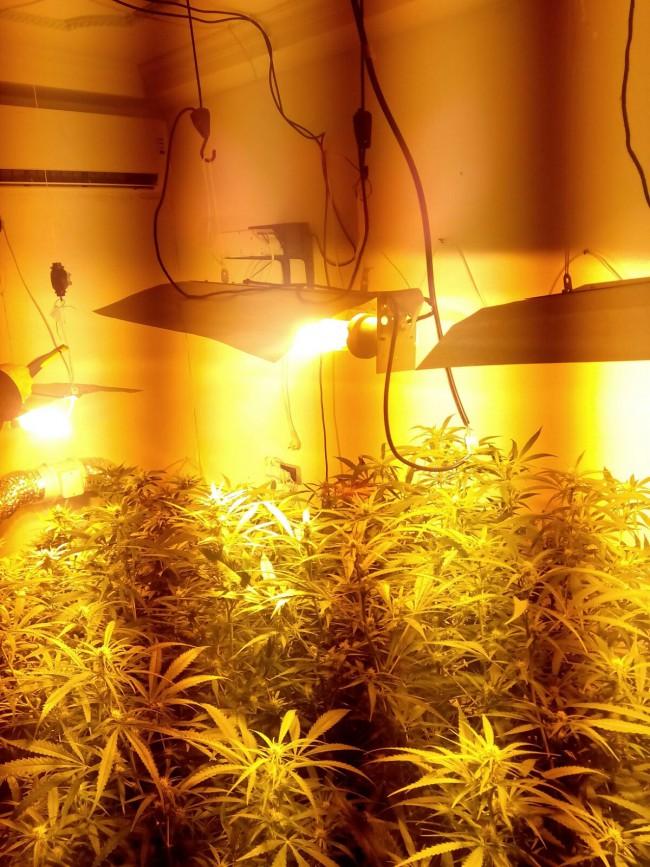 plantas marihuana en alfafar