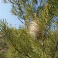 procesionaria pino