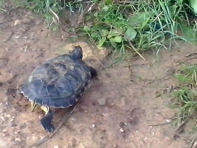 Torrent-tortuga-especie-invasora