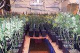 La Policía Local se incauta de 462 plantas de marihuana en dos viviendas en Torrent