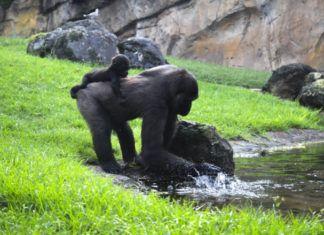 Bioparc Valencia gorilas