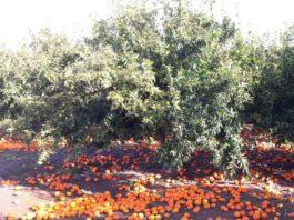 Naranjas en el suelo