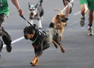 carrera con perros