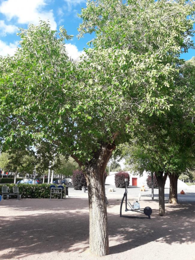 Alaquàs amplía su rico patrimonio verde con 100 nuevos ejemplares de olmos - Hortanoticias.com