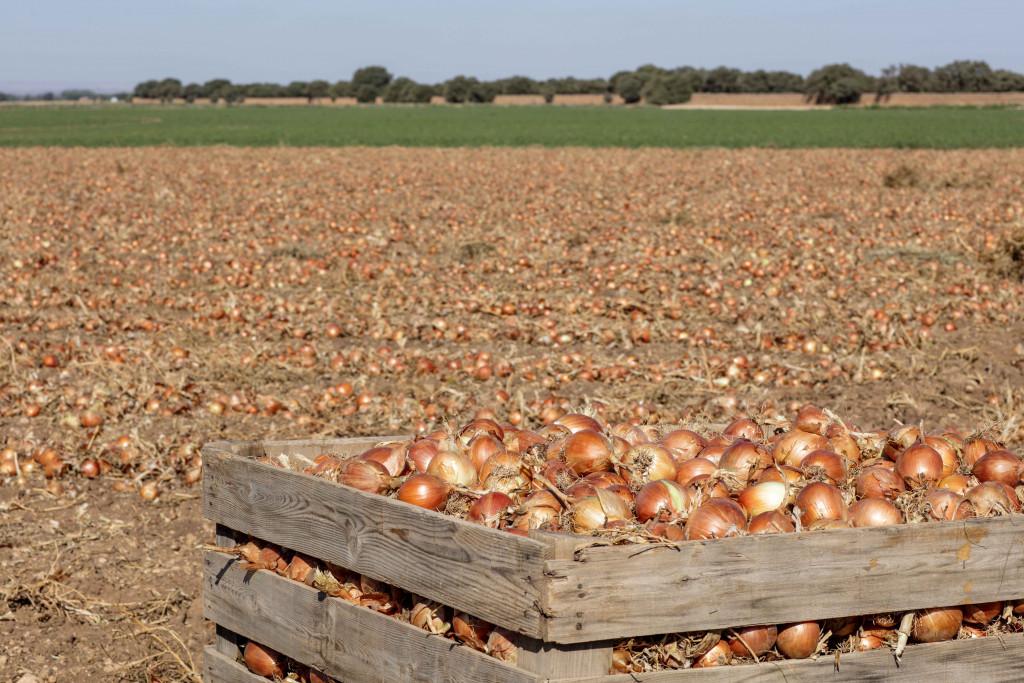 campo cebollas