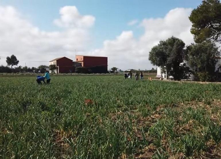 Meliana campo cebollas